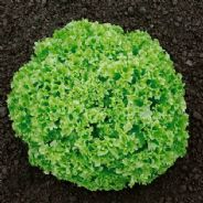 Lettuce Lollo Bionda 10 grams - Bulk Discounts available